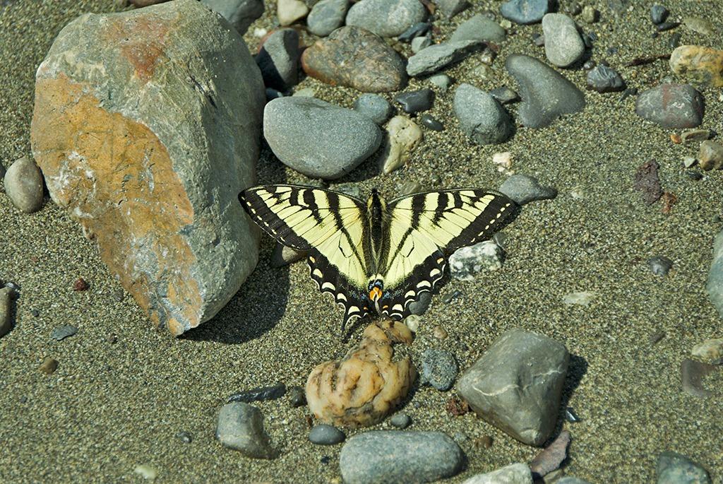 Canadian Tiger Swallowtail 061211.01.1024