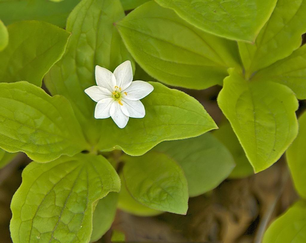 Starflower 061211.01.1024
