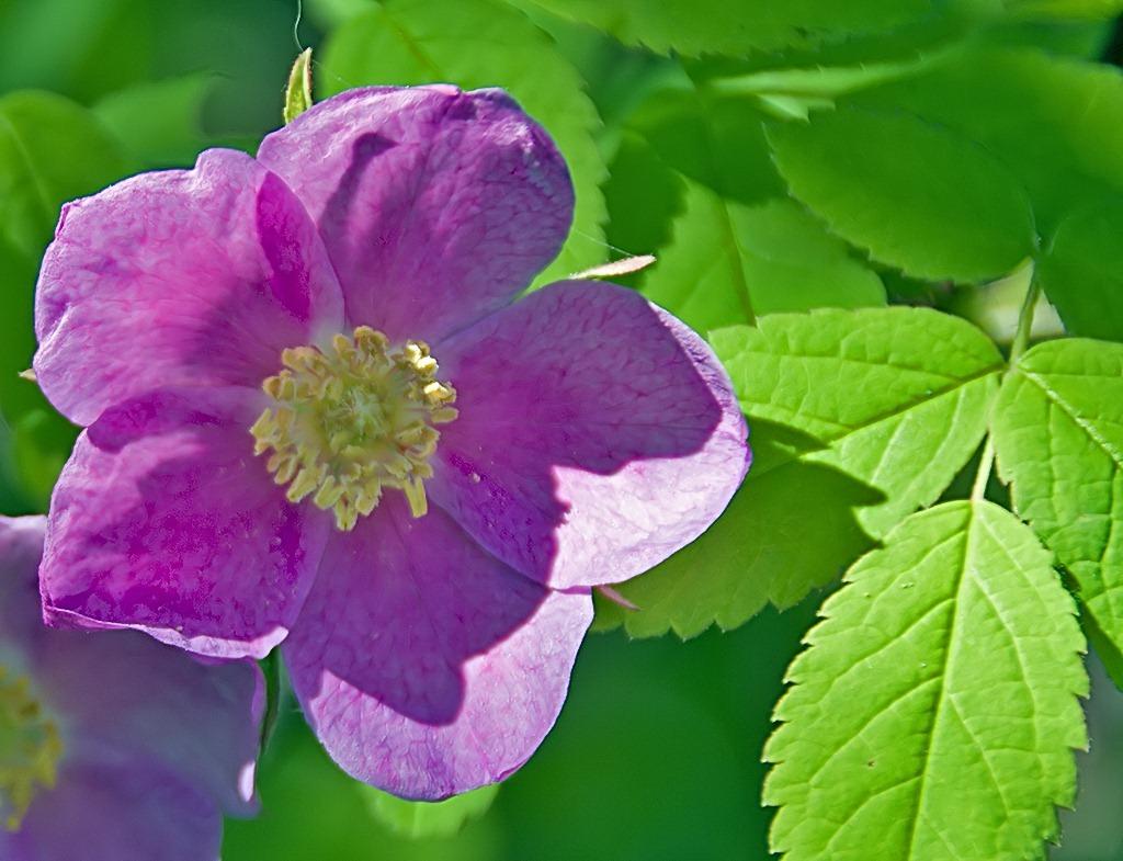 Wild Rose 061211.01.1024