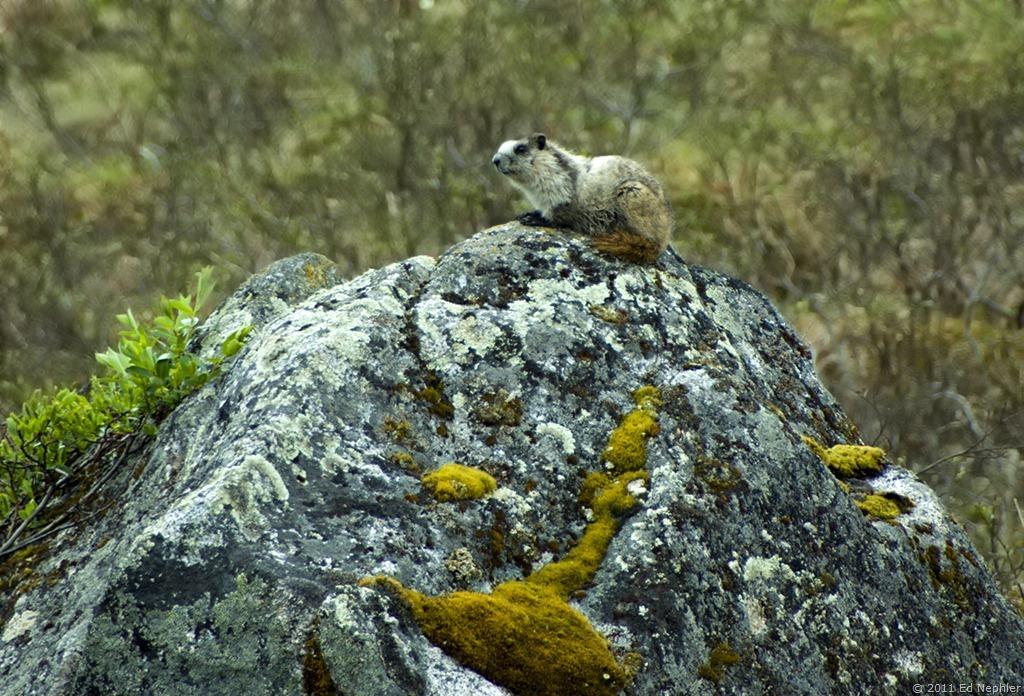 Baby Marmot 061611.01.1024
