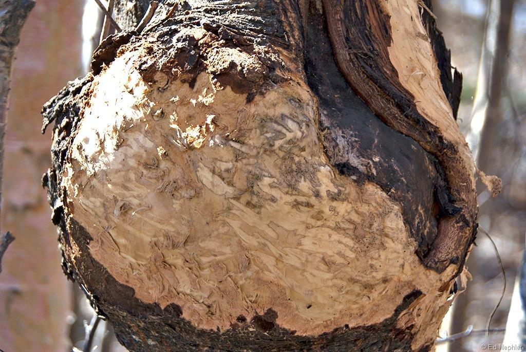Porcupine Munching 041511.02.1024