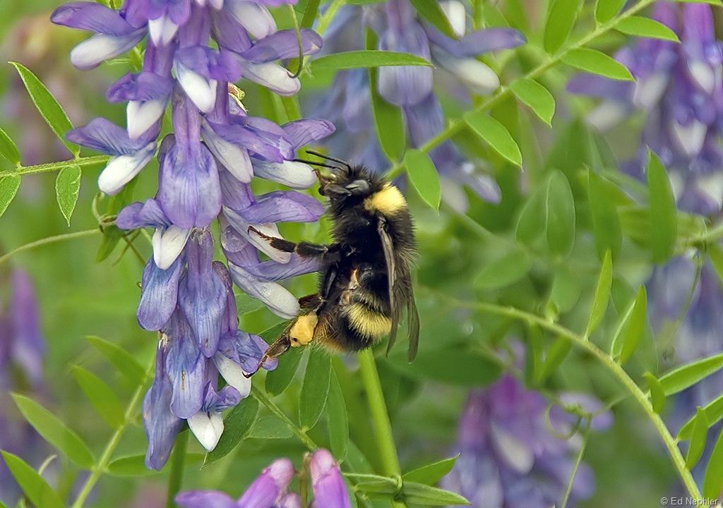Bumble Bee 072710.01.1024