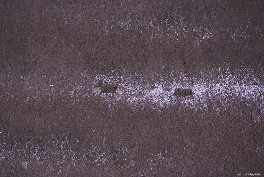 Moose 113009.02.1024