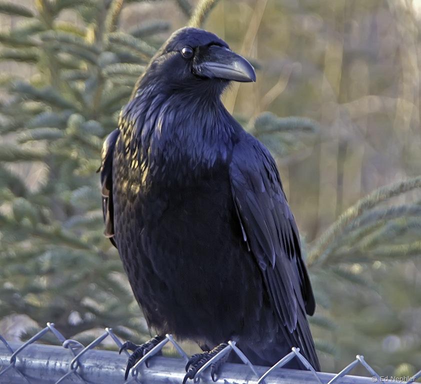Raven 011810.01.1024