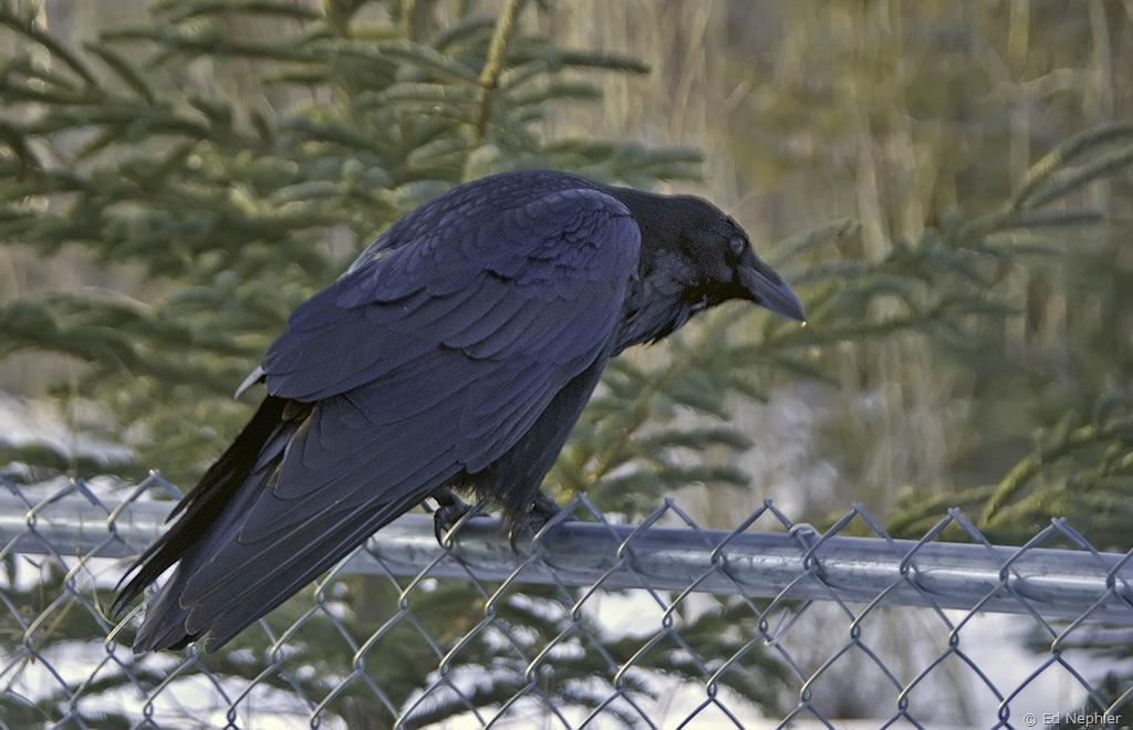 Raven 011810.02.11024