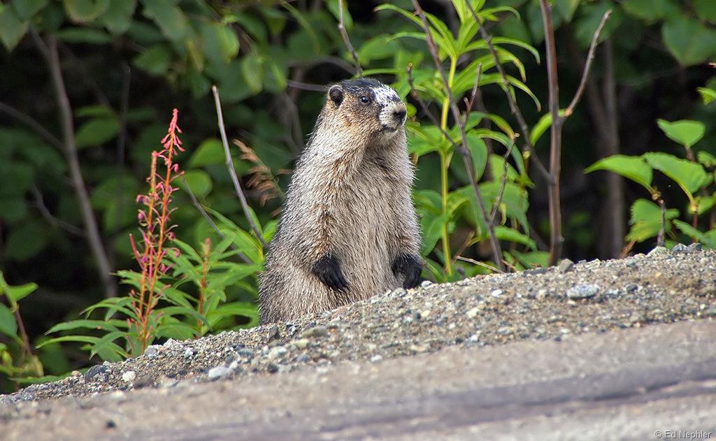 Marmot.081210.01.1024