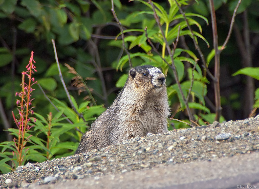 Marmot.081210.02.1024