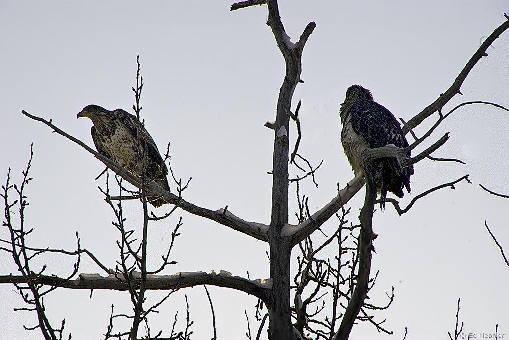 Bald Eagle 110909.02.1024
