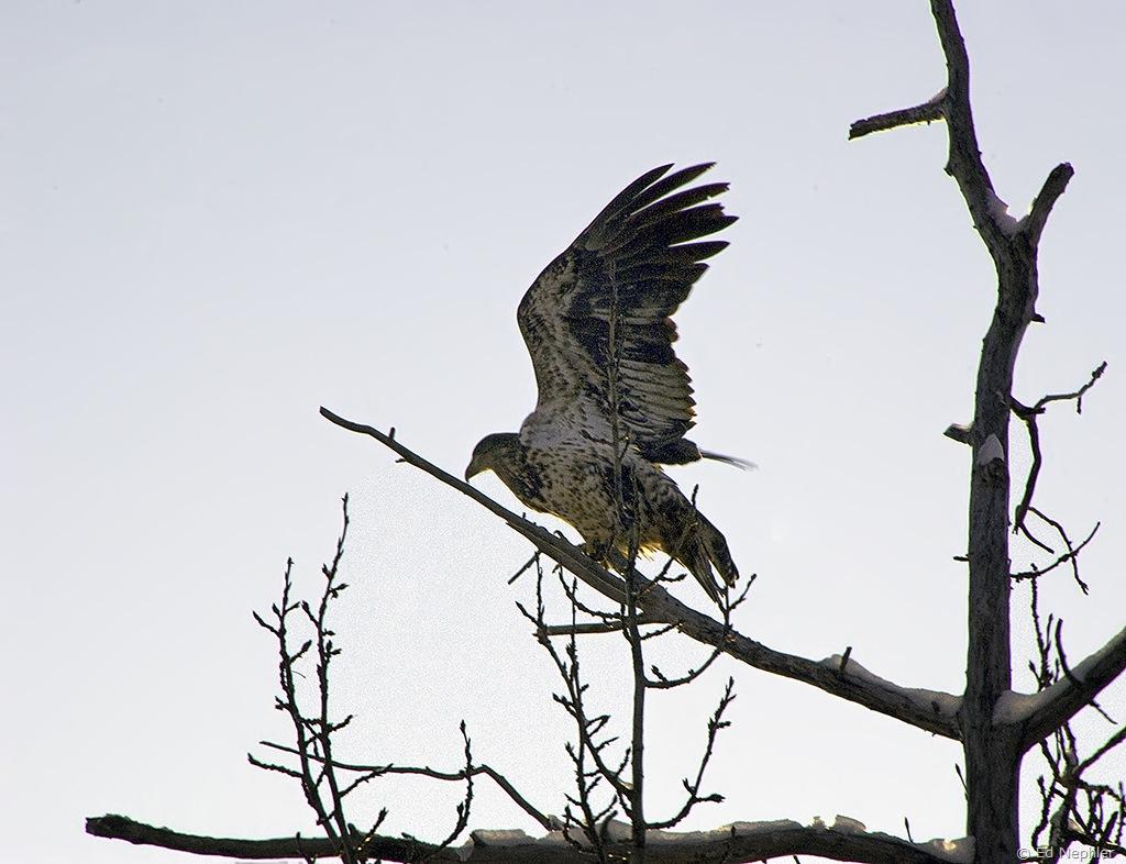 Bald Eagle 110909.03.1024
